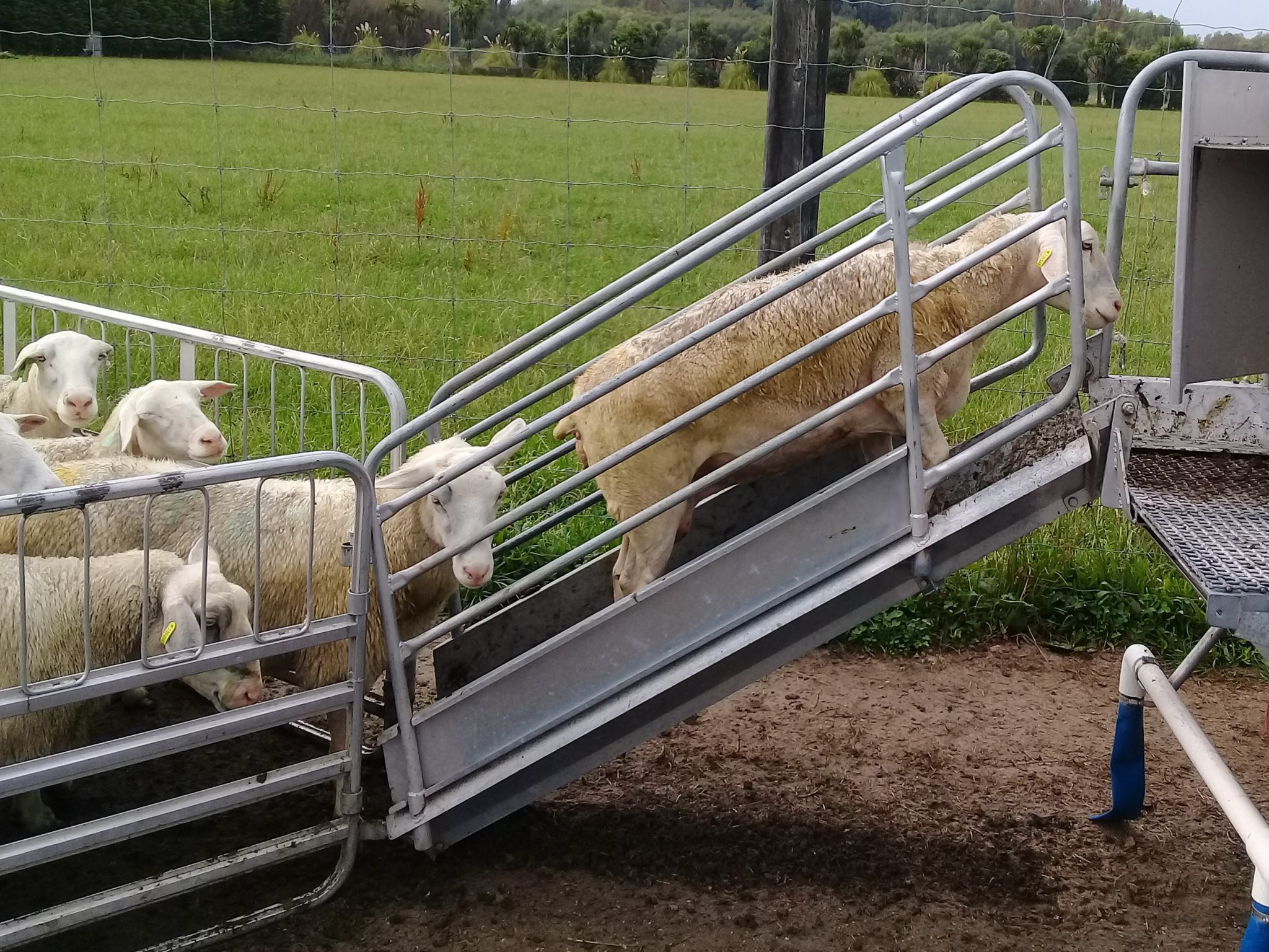 Sheep ramp - Read Industrial - Servicing New Zealand's dairy